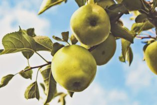 A list of apple varieties and apple variety facts.
