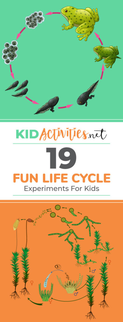 A collection of fun life cycle experiments and lesson plans for kids. These are great for science class and for teaching kids about the cycle of life.
