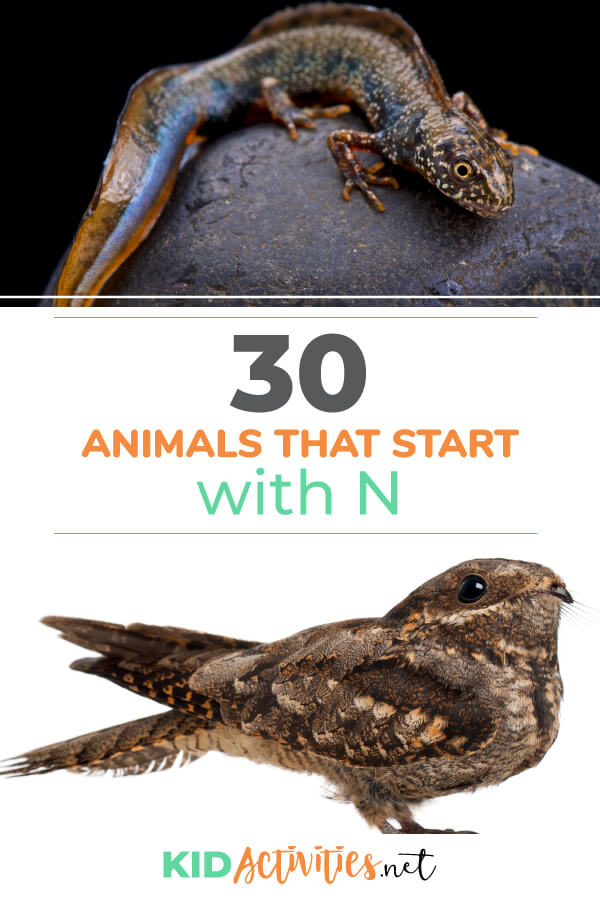 A collection of animals that start with the letter N. Here you will find 30 various animals that begin with N.