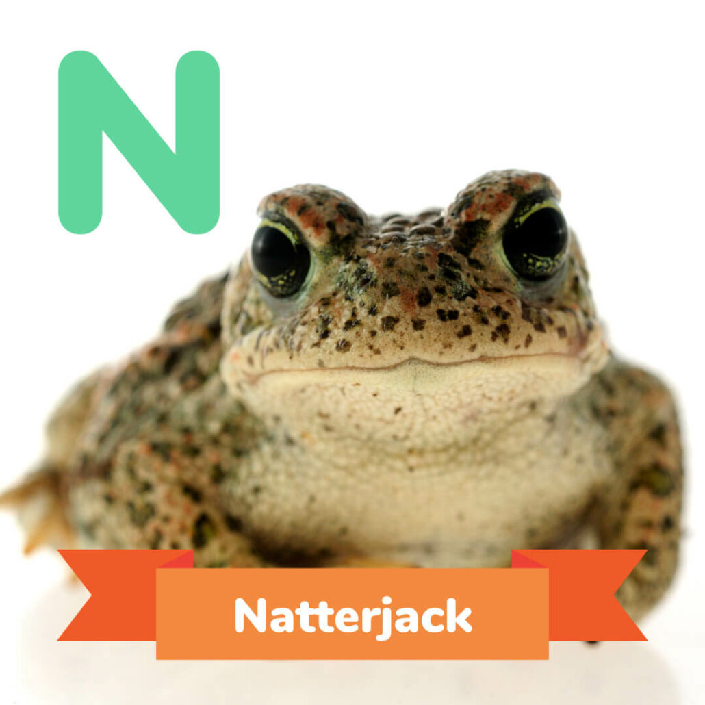 A picture of the Natterjack.