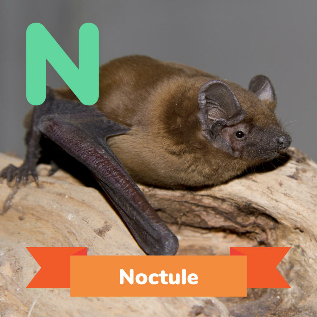 A picture of the Noctule.
