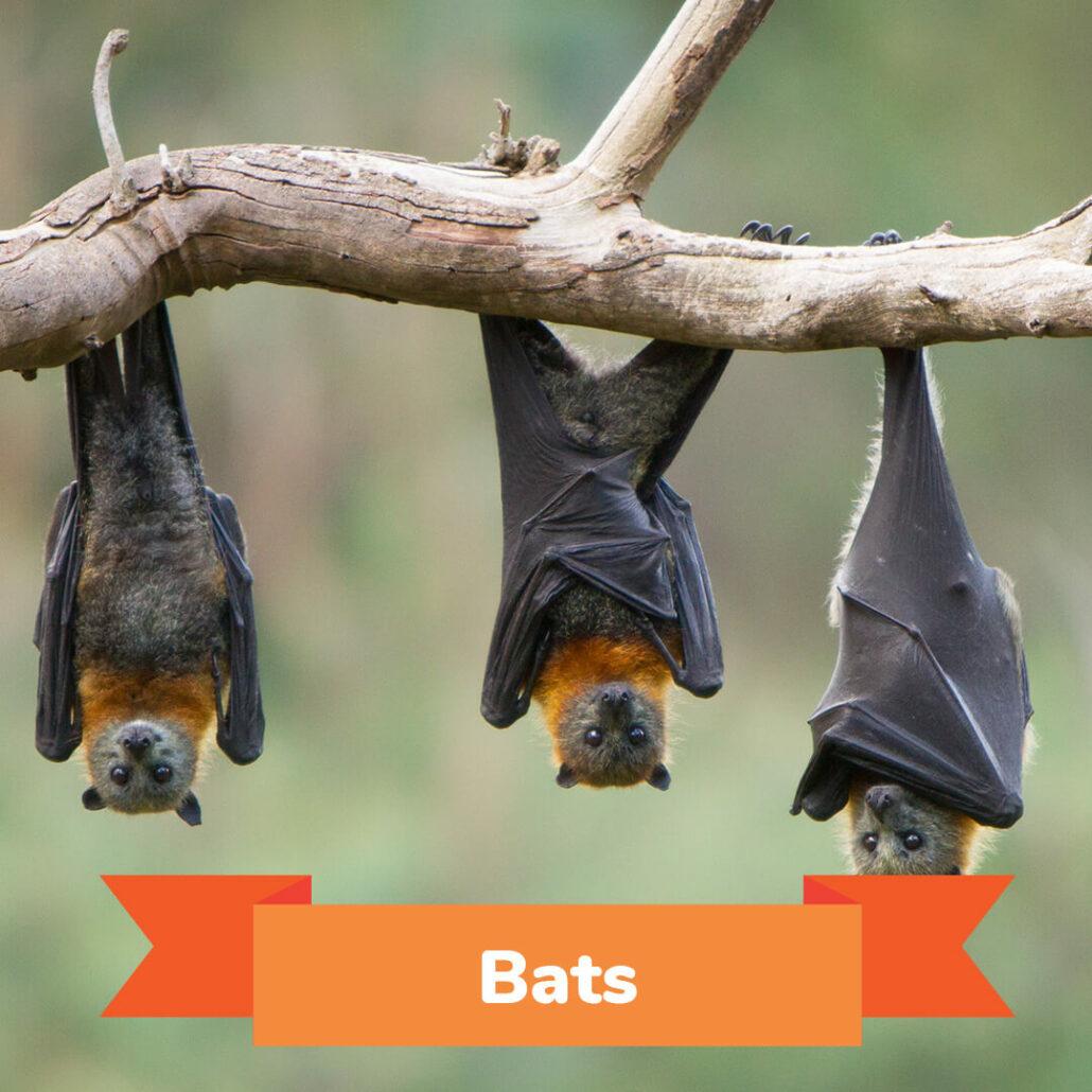 Three bats hanging upside down from a limb.