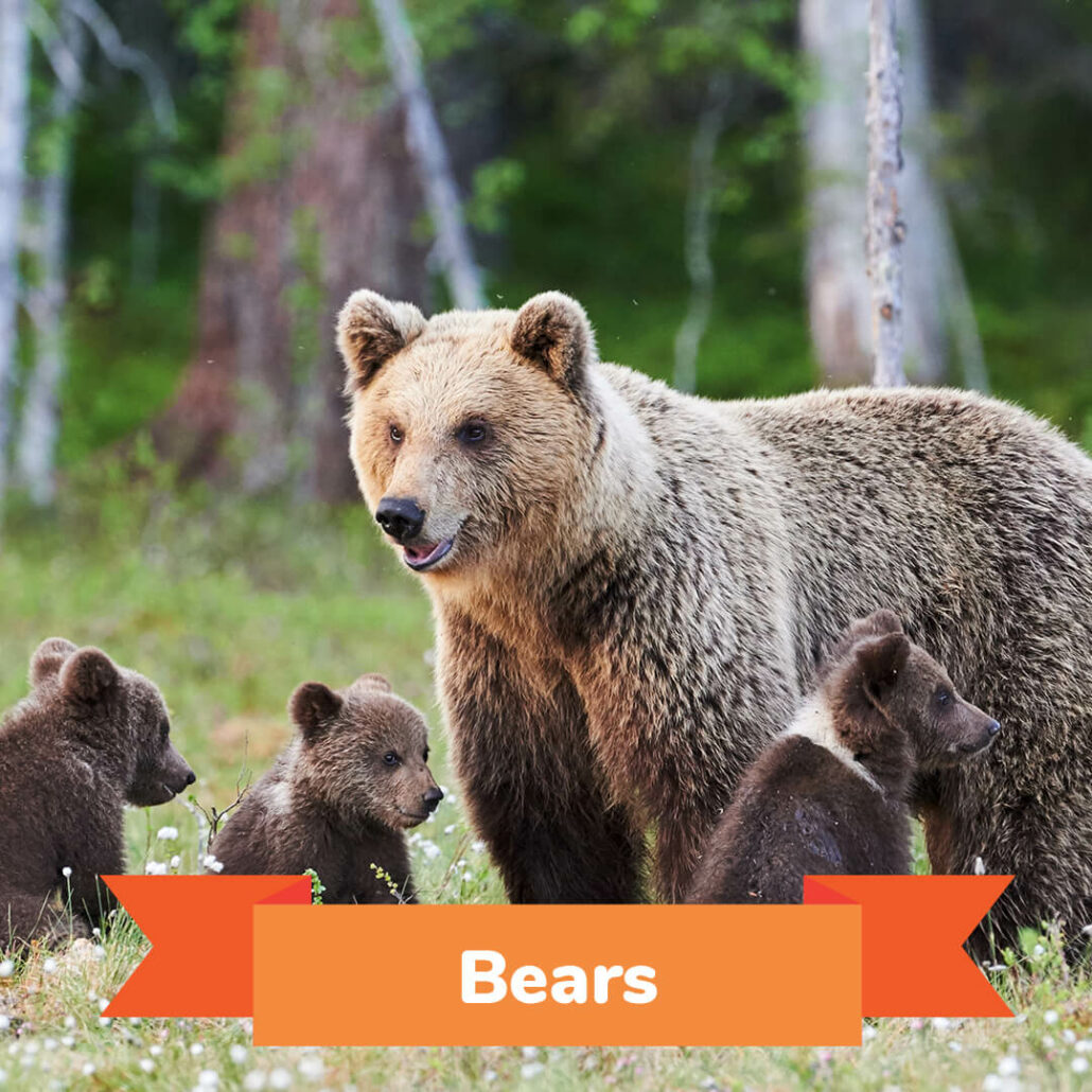 A mama bear and her three cubs standing in a field.