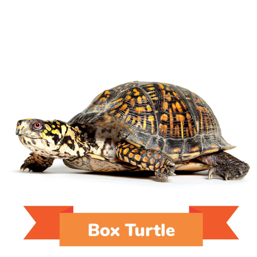 A box turtle walking.