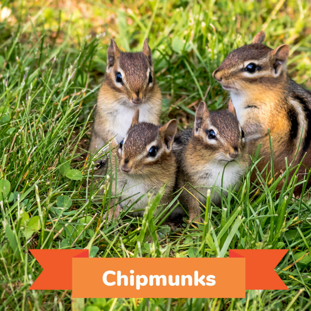 Four chipmunks gathered together in grass.