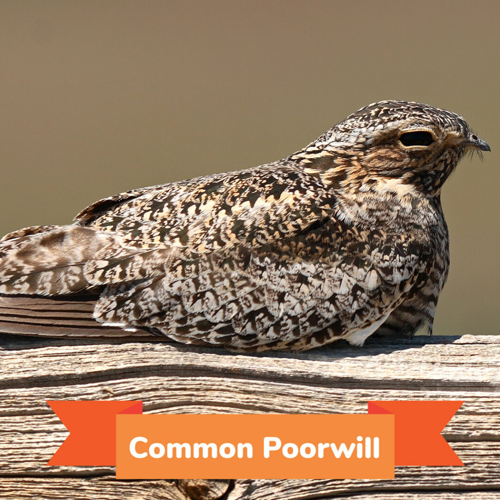 A common poorwill sitting on a log.
