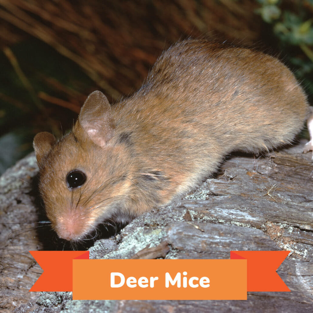 A deer mouse getting ready to enter his burrow.