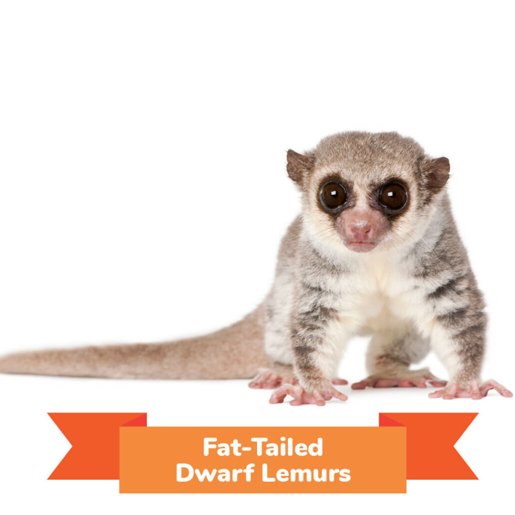 A fat tailed dwarf lemur.