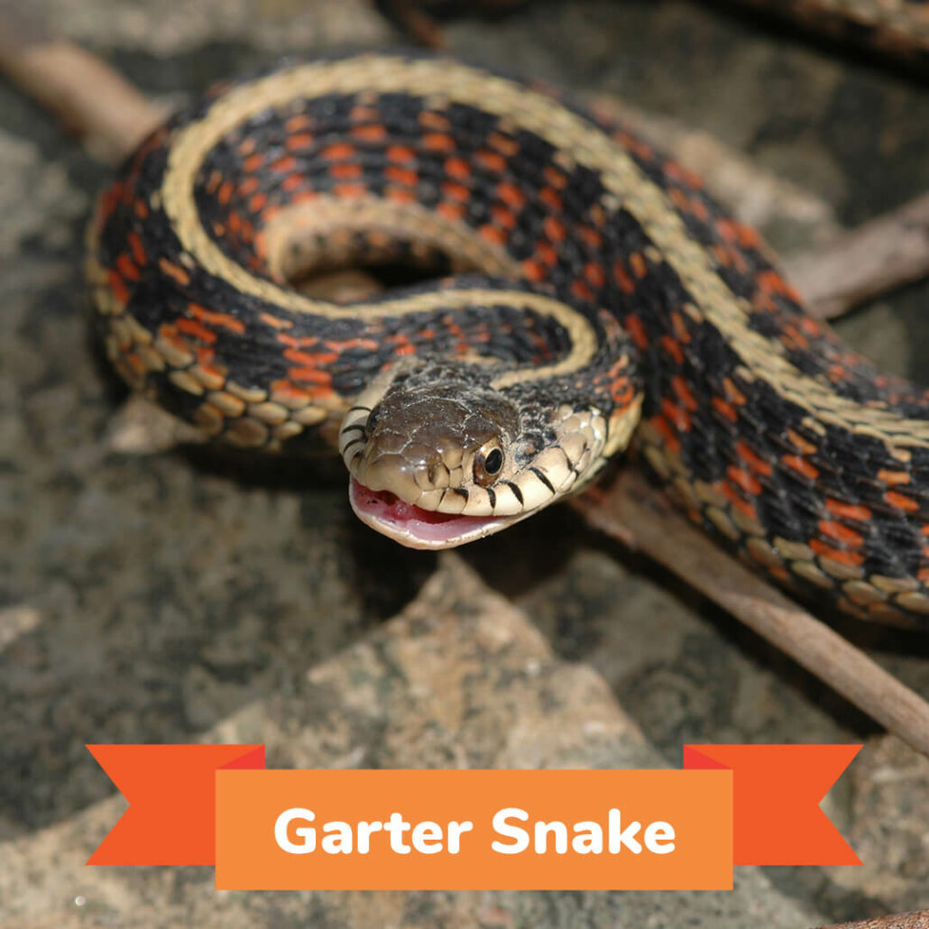 A garter snake slithering with his mouth open.