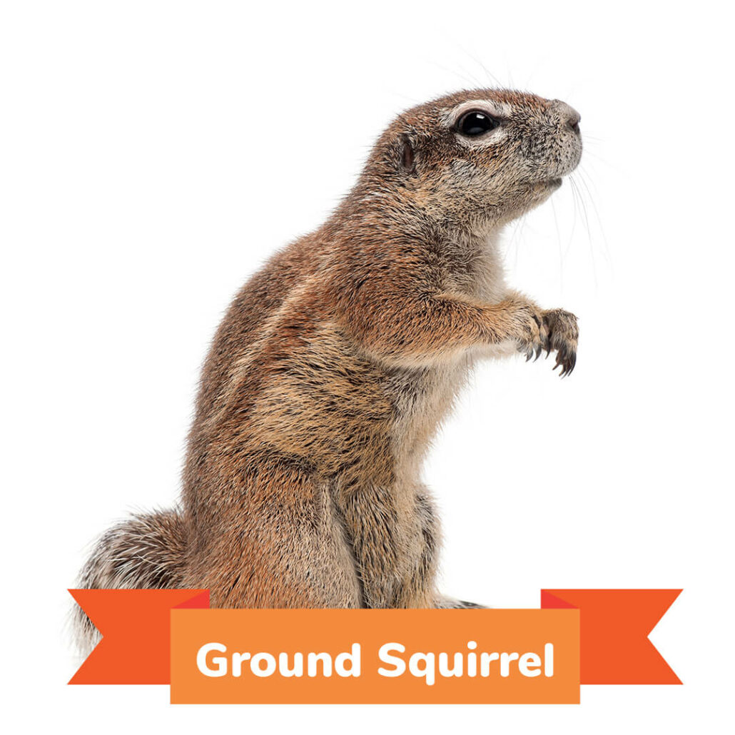 A ground squirrel standing on his back legs.