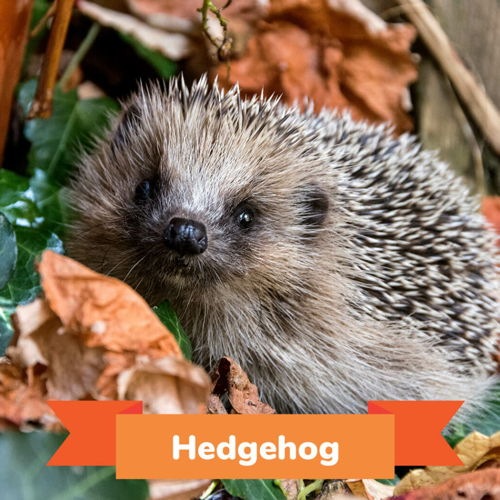 A hedgehog standing in a pile of leaves.