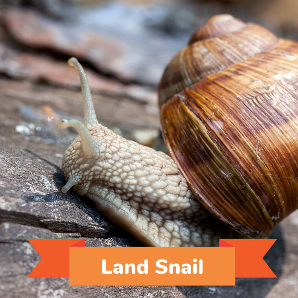 A land snail crawling on a rock.
