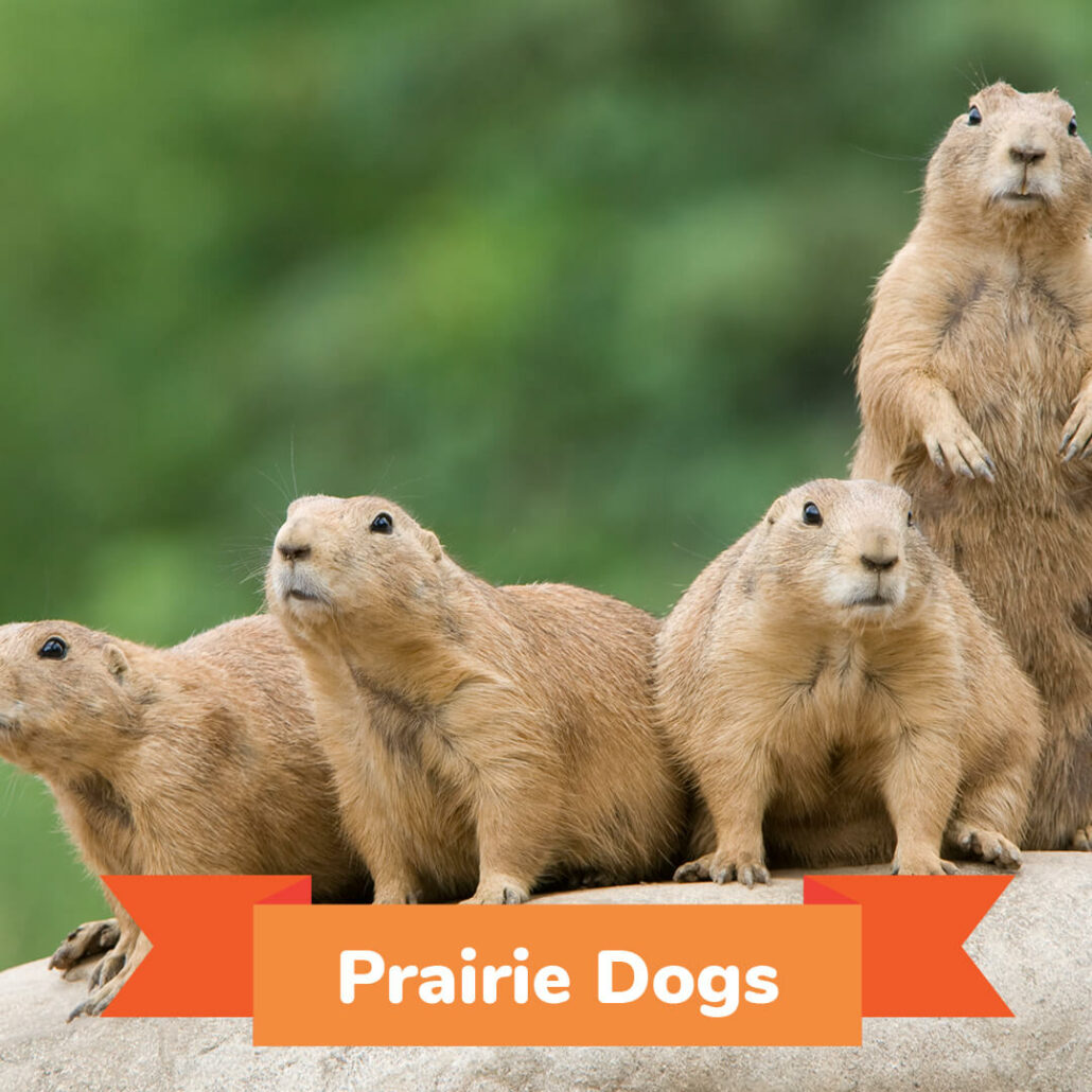 A group of four prairie dogs standing on a rock.