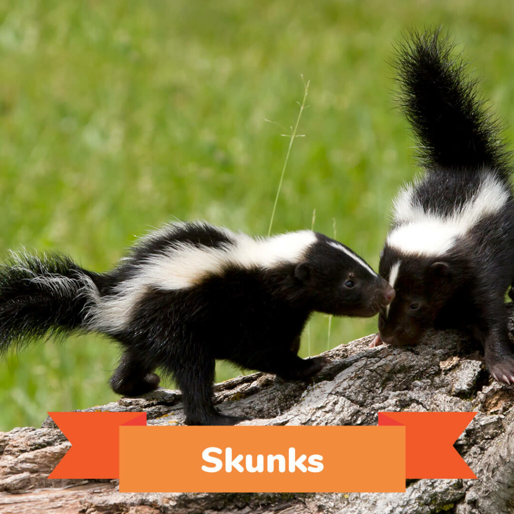 Two skunks standing on a log.