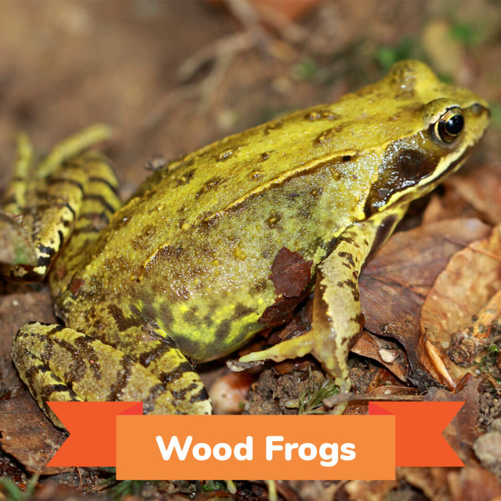 A wood frog sitting on leaves.
