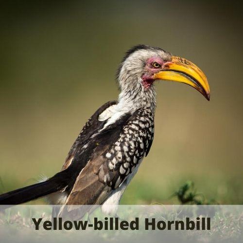 animals that start with y - hornbill