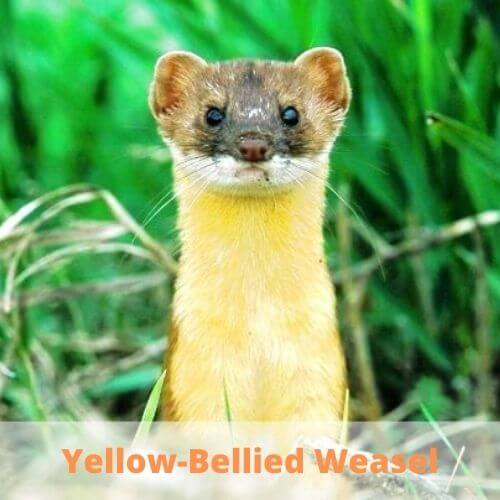 animals that start with y - weseel