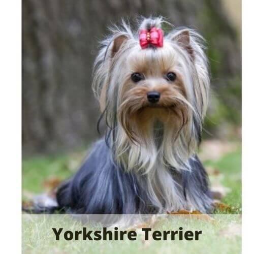 animals that start with y - torkie